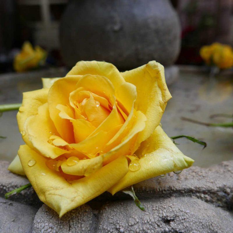 Detail of a rose in San Miguel de Allende courtyard