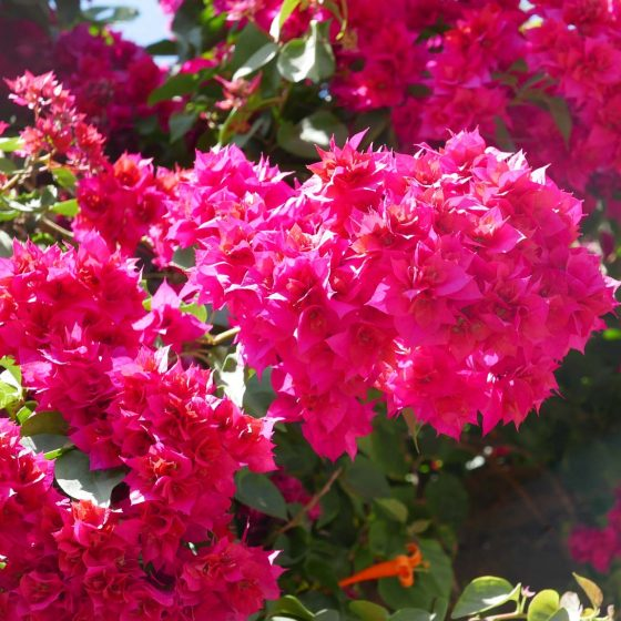 Flowers in Juayua, Ruta de Flores, Juayua