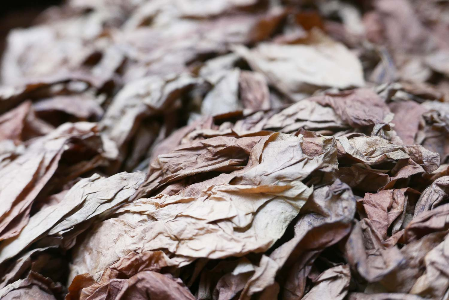 Dry tobacco leaves in a cigar factory in Esteli, Nicaragua