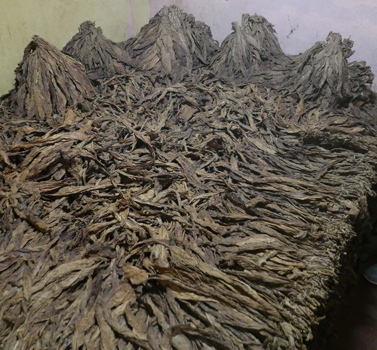 Drying tobacco leaves in a cigar factory in Esteli, Nicaragua