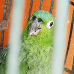 Parrot in Jinotega, Nicaragua