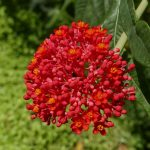 Red flower in Charco Verde nature park on Ometepe island in Nicaragua
