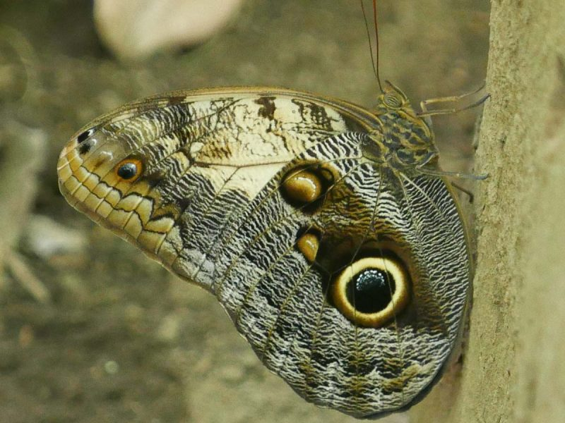 Magic butterfly in Charco Verde nature park on Ometepe island in Nicaragua