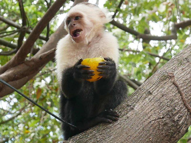 Monkey on Ometepe island in Nicaragua