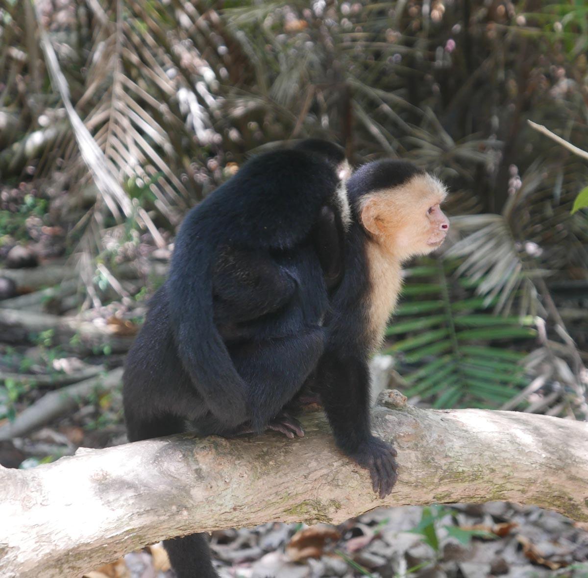 Two monkeys near water tap near Playa Espadilla Sur in Manuel Antonio national park
