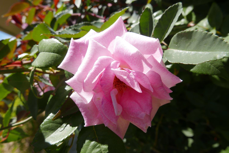 Pink flower in Santa Elena village