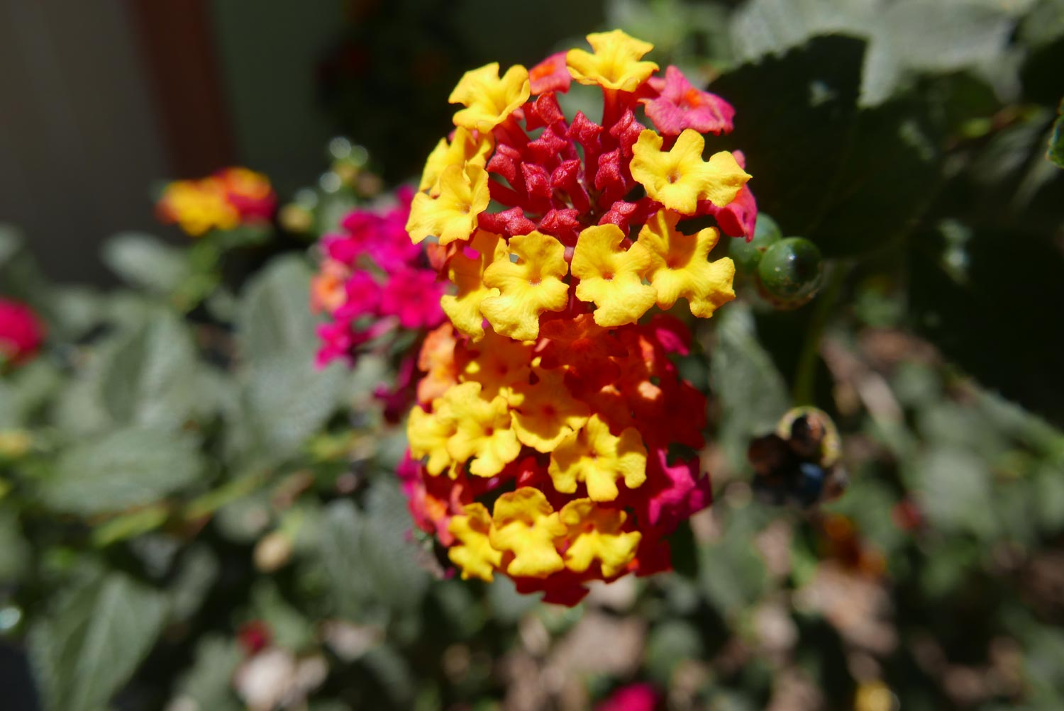 Beautiful red and yellow flower in Santa Elena village, Costa Rica