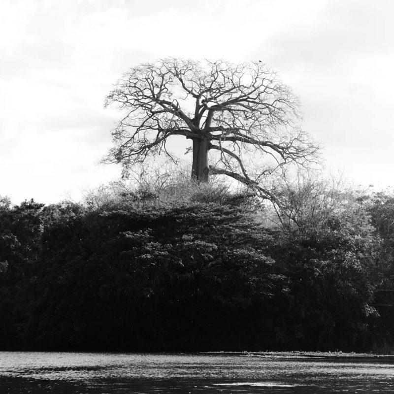 Madrono national tree of Nicaragua in Las Isletas