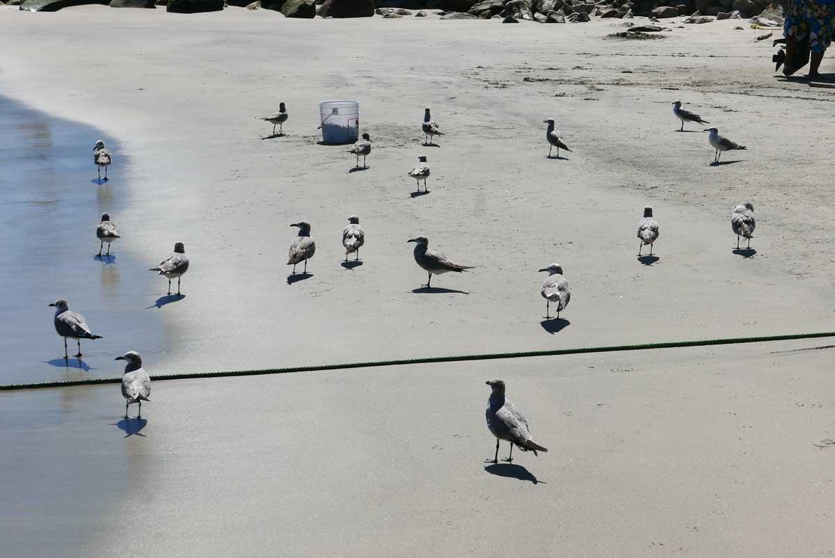 Seabirds at Playa Principal in Puerto Escondido