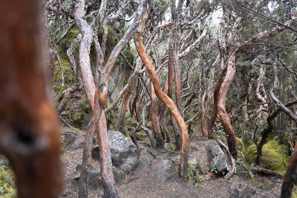 Amazing forest in Cajas