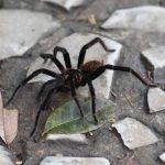 Tarantula in Rio Claro reserve